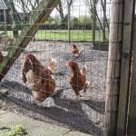 Kippen in de ren (1024x683)