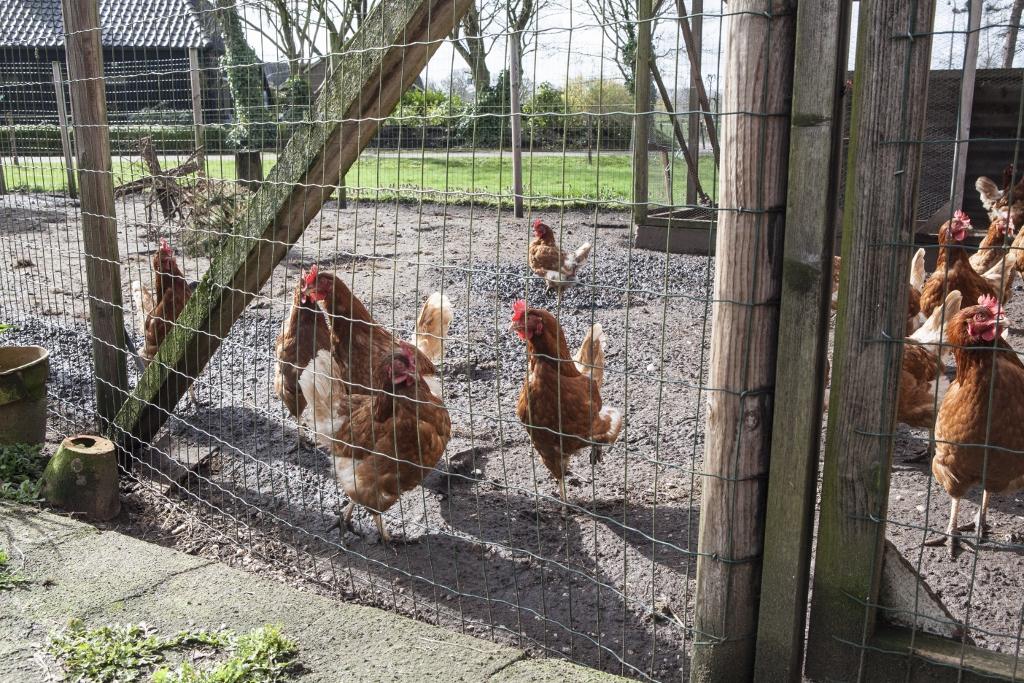 Kippen in de ren